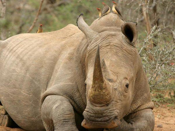 AndBeyond Ngala Safari Lodge ngala rhino notching