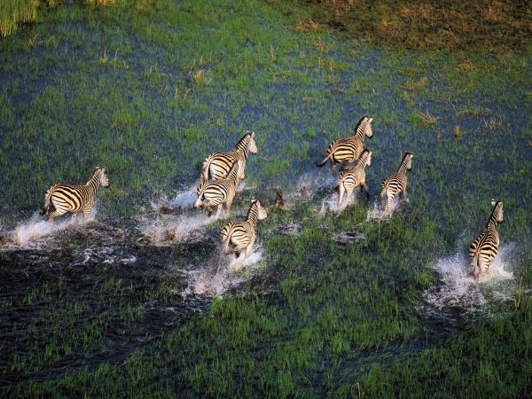 Scenic-Helicopter-Flight-Zebras-over-a-channel-in-the-Okavango-Delta