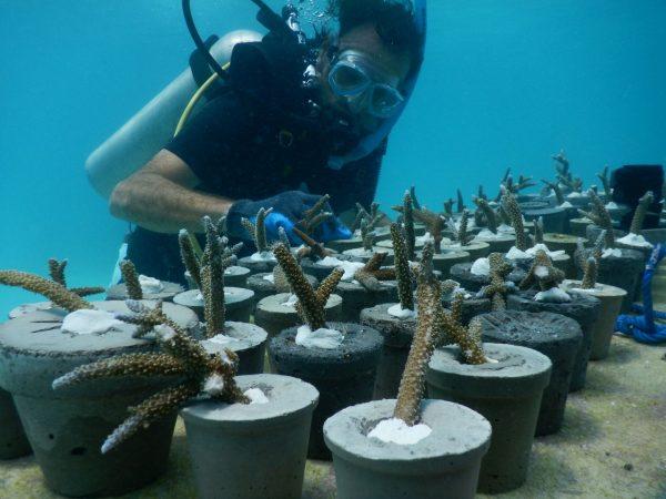 Hotel Fairmont Maldives Coral Propagation