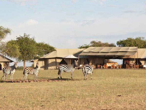 Singita-Sabora-Tented-Zebras in the Camp