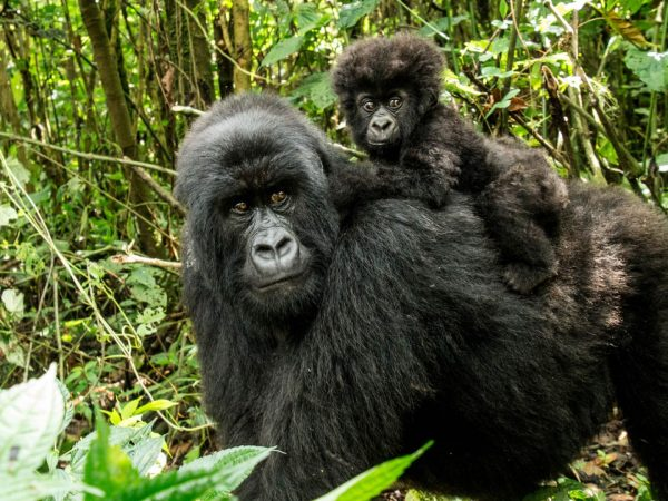 Mountain gorillas Bwindi