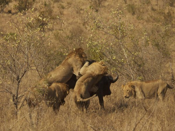 Londolozi Varty Camp Tracking