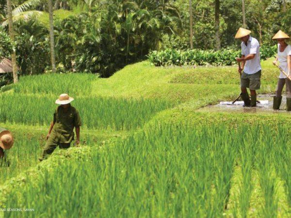 Four Seasons Resort Bali at Sayan rice paddies