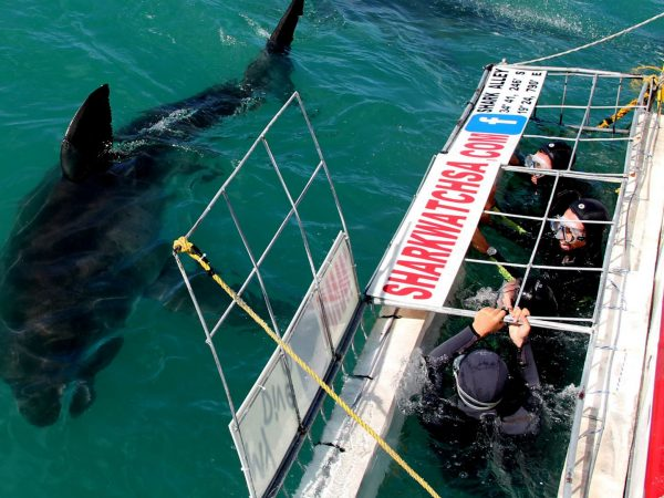 Birkenhead House Shark Cage Diving