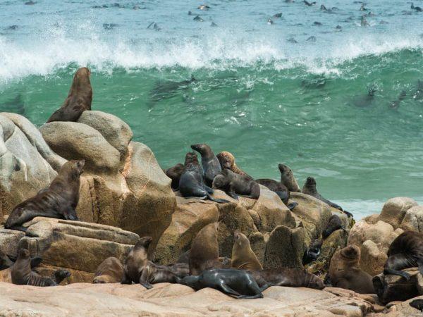 Hoanib Skeleton Coast Camp Wildlife Pinnipeds