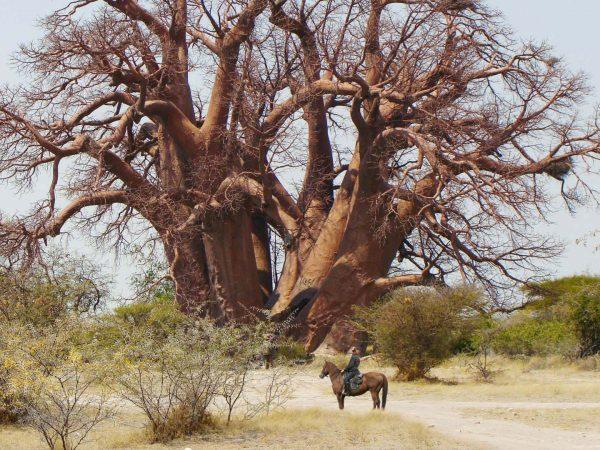 Jack's Camp Fallen Baobab