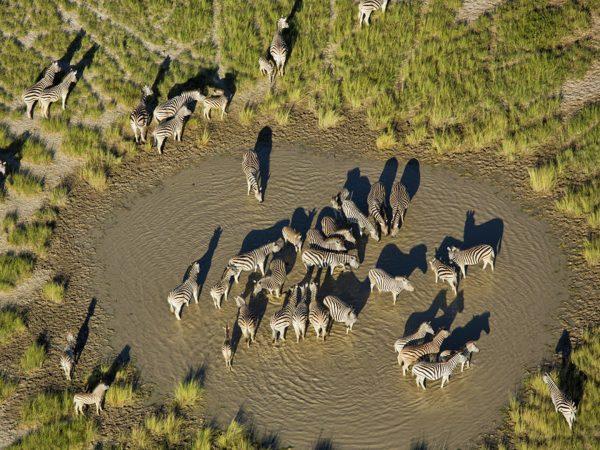 Jack's Camp Zebra and Wildebeest Migration Green Season