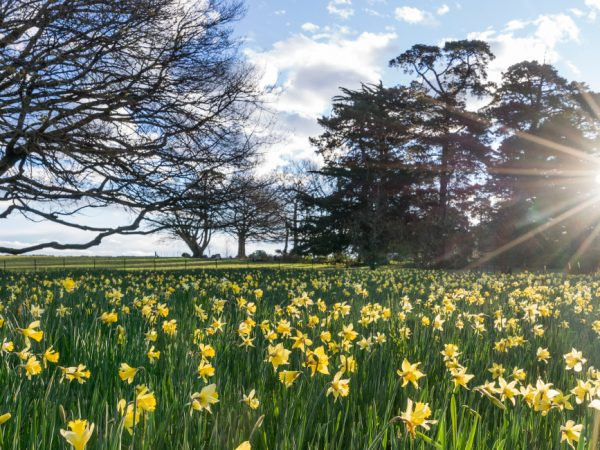 Otahuna Lodge Daffodil Paddock With Sun