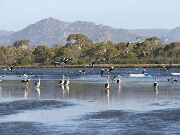 Saffire Freycinet Pelican Bay Canoeing and Bird Watching