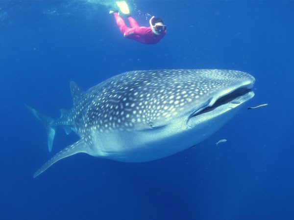 Thanda Island Swimming with Whale Sharks