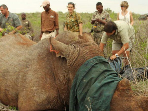 Thanda Safari Rhino Darting