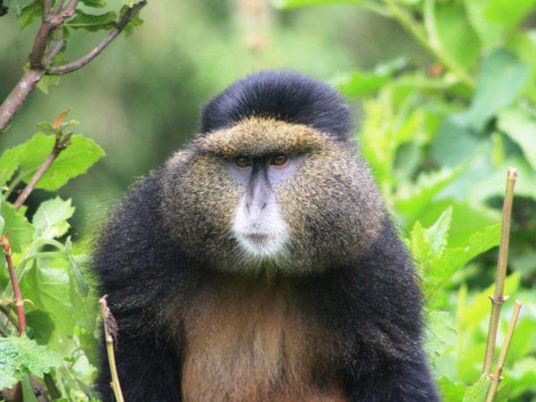 Virunga Lodge Golden Monkey Tracking
