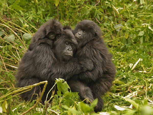 Virunga Lodge Gorilla Tracking