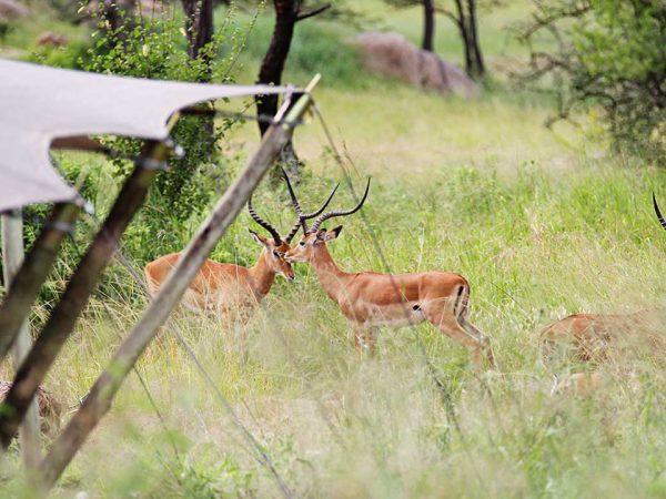Elewana Serengeti Pioneer Camp Tent Exterior