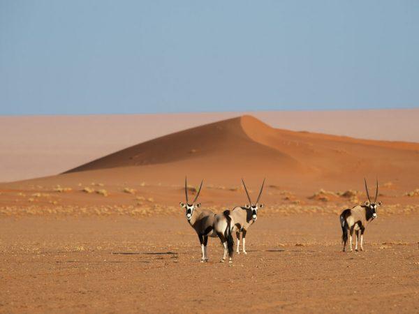 Kwessi Dunes Namibia Oryx in Dunes