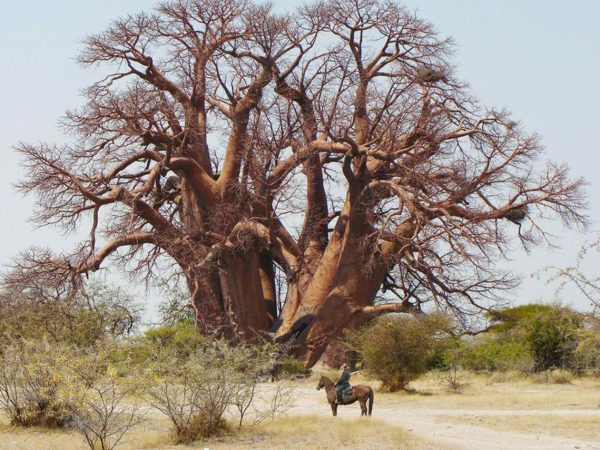 Natural Selection San Camp Fallen Baobab