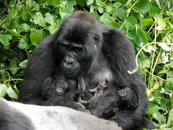 Clouds Mountain Gorilla Lodge Bwindi Gorilla Family