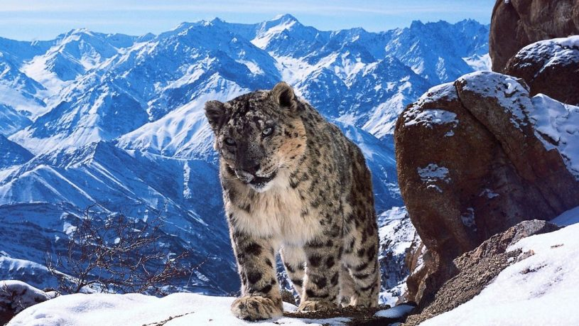 Snow Leopard Ladakh